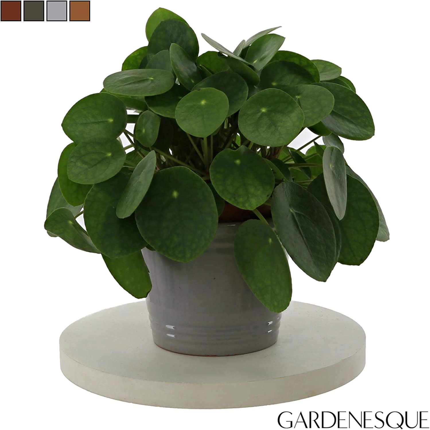 Pilea Peperomioides Indoor Houseplant Ancient Effect Ceramic Pot Large Chinese Money Plant