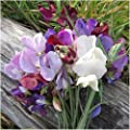 Package of 200 Seeds, Old Spice Sweet Pea (Lathyrus odoratus) Non-GMO Seeds By Seed Needs