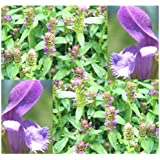 1200 x HEAL ALL Perennial Herb Seed - HARDY PERENNIAL Flower Seeds - Prunella vulgaris - EDIBLE & MEDICINAL - By MySeeds.Co