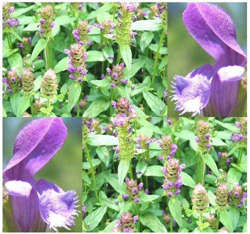 1,200 HEAL ALL Perennial Herb Flower Seeds Prunella vulgaris EDIBLE &  MEDICINAL