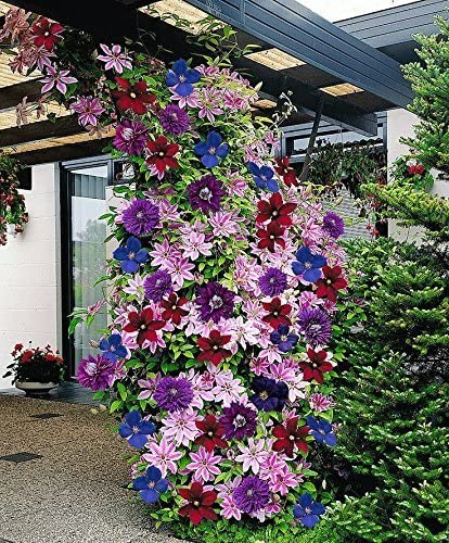 Amazon Com Clematis Mixed Colors Wonderful Large Blooms 20