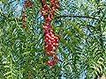 Pepper, California Tree, Schinus Molle, Pink Peppercorn, 10 Seeds! Groco