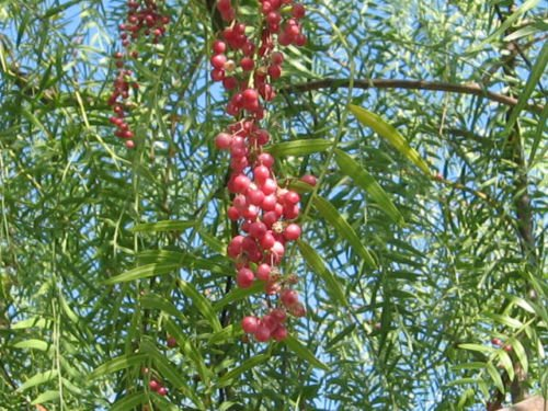 Pepper, California Tree, Schinus Molle, Pink Peppercorn, 10 Seeds! Groco (Pepper Trees California)
