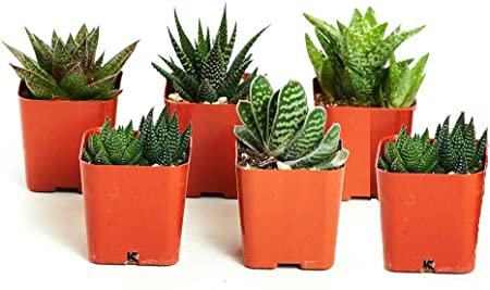 Shop Succulents 1-Burrito-2 |Hand Selected for Health 2 inch Gardeners Collection Size |2 Grower Pot