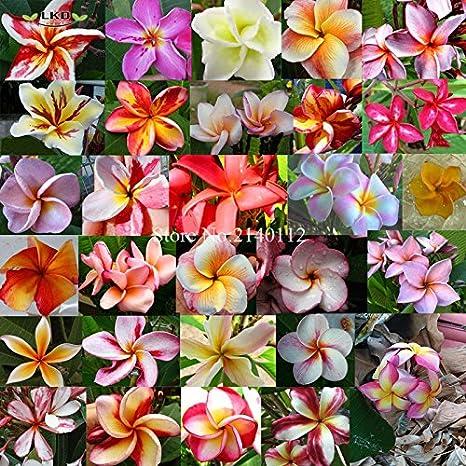 "Plumeria//Plants//Flowers///"" Peach4/""//Fresh 100 seeds"