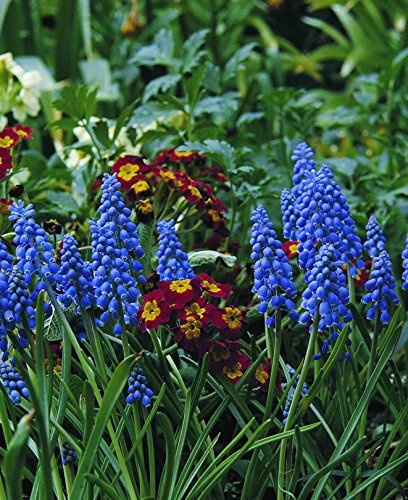 Burpee's Blue Grape Muscari - 16 Flower Bulbs | Blue | 16 - 18cm Bulb Diameter by Burpee