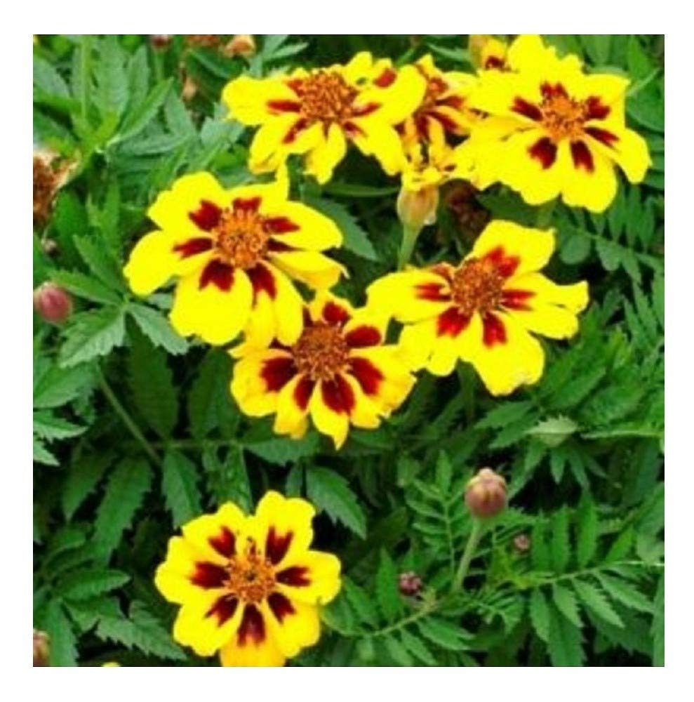 FLOWER MARIGOLD DWARF FRENCH LEGION D'ONORE 800 SEEDS Premier Seeds Direct NN-S9Y8-8A5J
