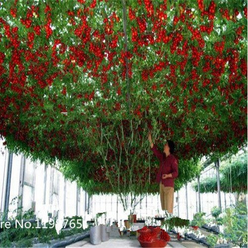 Giants Italian - ChinaMarket 100 Italian Tree TomatoRARE HEIRLOOM!! SEEDS OF LIFE TOMATO GIANT TREE Fruit Seeds