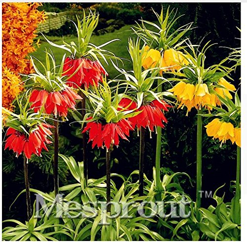 (New Crown Imperial 100+ Seeds - MIX )