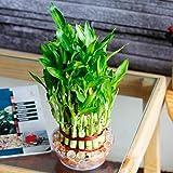 Ugaoo Lucky Bamboo 3 Layer Feng Shui Plant