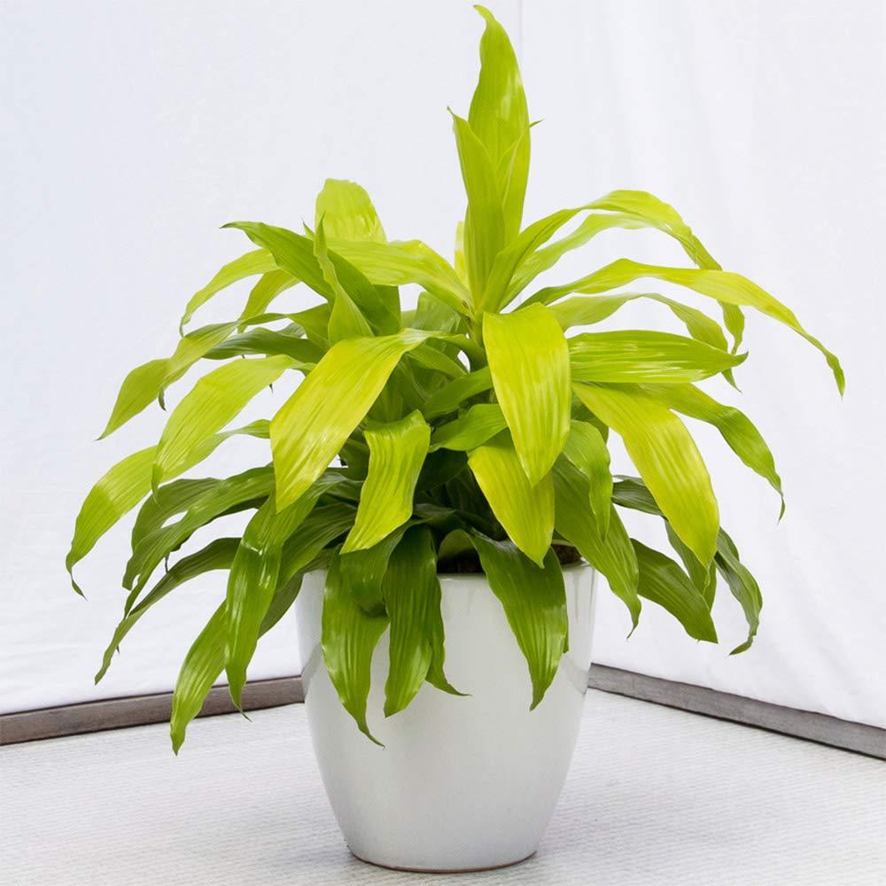 AMERICAN PLANT EXCHANGE Dracena Limelight XL Madagascar Dragon Tree Live Plant, 3 Gallon, Indoor/Outdoor Air Purifier by AMERICAN PLANT EXCHANGE (Image #2)