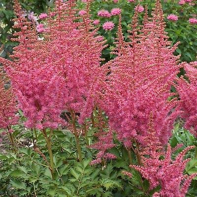 1 Live Potted Plant Astilbe Rise and Shine Pink False Spirea Fragrant 2.5