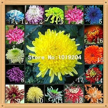 100 PC coloridas semillas crisantemo, semillas de flores de colores, hermosas semillas de plantas en maceta: Amazon.es: Jardín