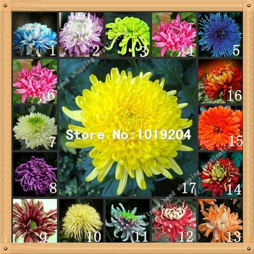100 PC coloridas semillas crisantemo, semillas de flores de colores, hermosas semillas de plantas en maceta SVI