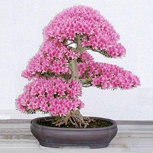 mark8shop Lot Garden Graines de bonsaï cerisier fleur Cour Plante en pot