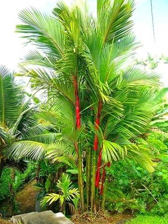 Cyrtostachys Renda   Red Sealing Wax Palm Lipstick Palm Tree   20 Fresh  Seeds