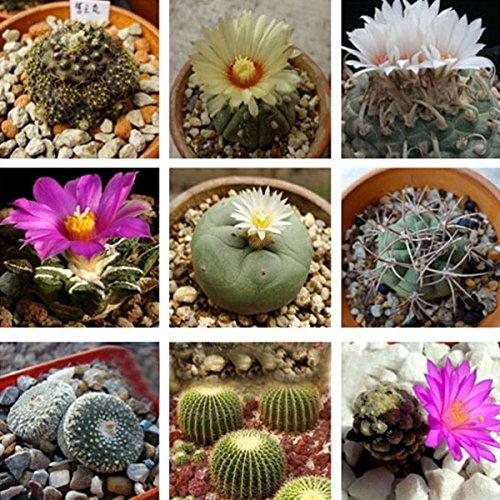 10er Hybrid Kakteensamen Sukkulenten Blumensamen