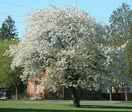 50 Black Cherry Tree Seeds, Prunus Serotina ()