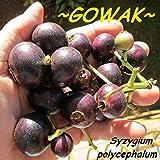 ~GOWAK~ Syzygium polycephalum FRUIT TREE Baligang Small LIVE Starter Plant