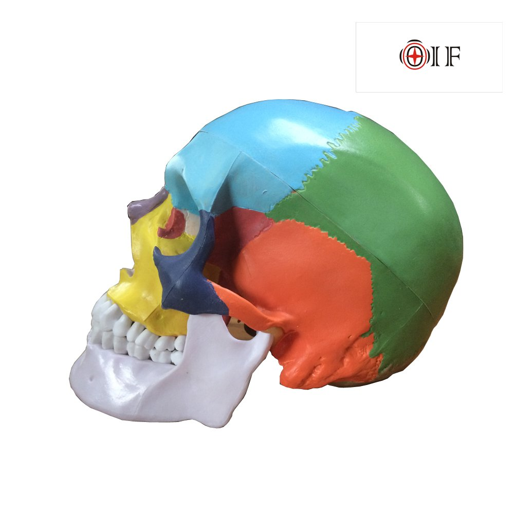 Skull Model,OIF Human Skull Map Anatomical Scientific Included Full Set Teeth Removable Partitioned Skull Model Christmas Halloween Decorated