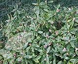 4 Starter Plants of Daphne Odorata Aureo-Marginata