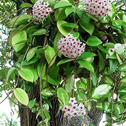 Mybageecha Hoya Carnosa Hanging Indoor Outdoor Live Plant With Pot