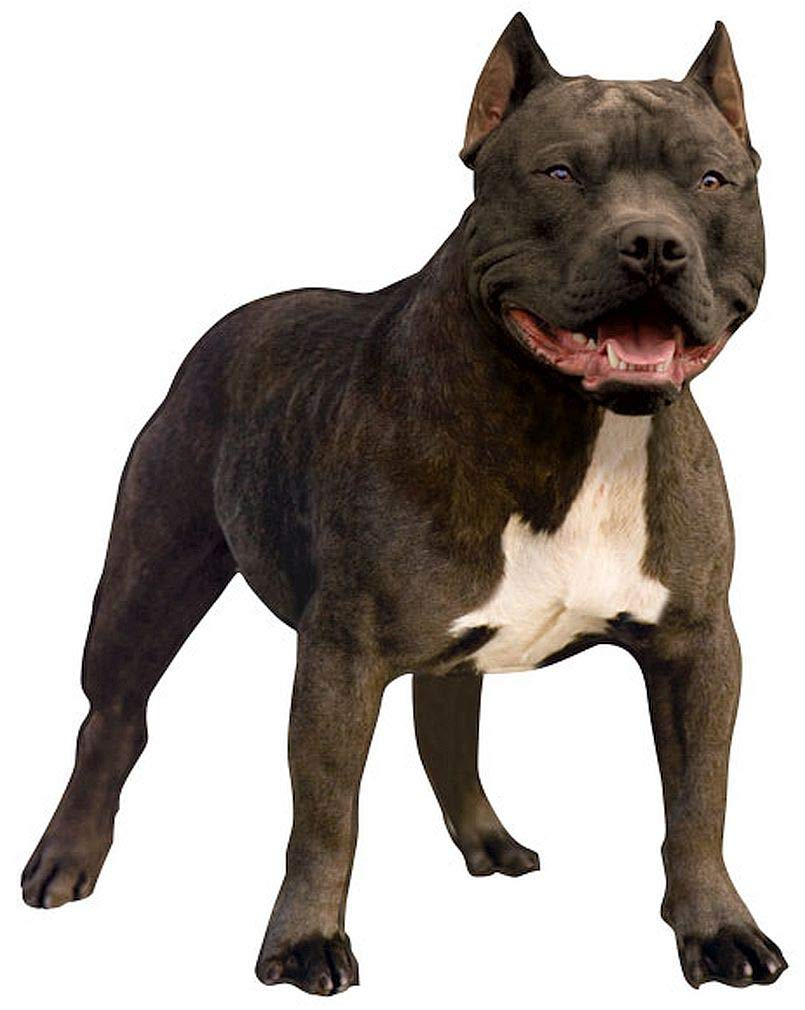 "Paper House Productions 3.5"" x 2.5"" Die-Cut American Staffordshire Terrier Pit Bull Dog Shaped Magnet for Refrigerators and Lockers"
