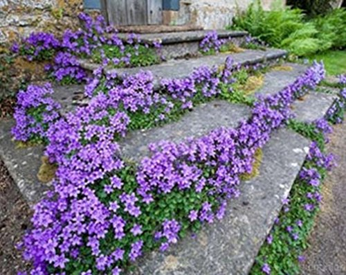 Campanula carpatica (Tussock Bellflower seeds) - makes a good container plant! ()