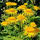 Elecampane Seeds (Inula helenium) 40+ Medicinal Herb Seeds