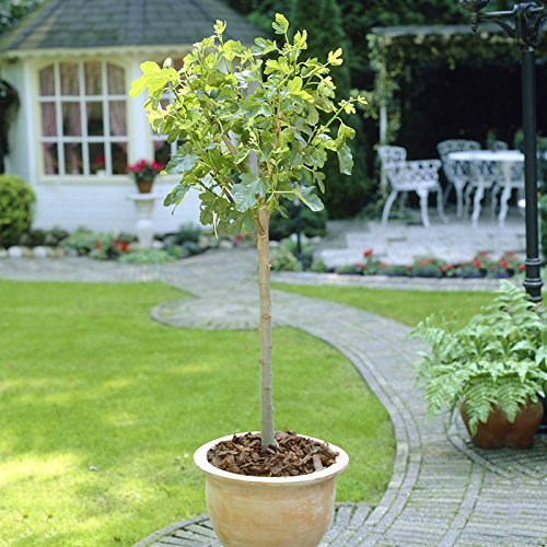 The Chelsea Fig Fruit Tree in a 4L Pot to Grow Your Own Edible Fruit YouGarden
