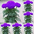 Ink2055 100pcs Purple Marigold Seeds Potted Plant Flower Home Garden Decoration