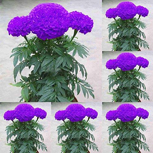 Wintefei 100Pcs Purple Marigold Seeds Potted Plant Flower Home Garden Decoration