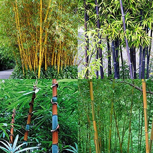 ScoutSeed verde: 7B38 797A 100Pcs Tinwa Phyllostachys Pubescens Semillas Jardín Suministros Plantas Bambú: Amazon.es: Jardín