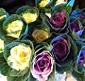 50 Ornamental Cabbage seeds