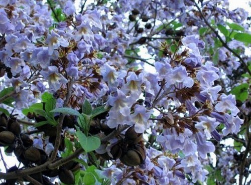 - Nianyan Paulownia 100 Seeds Best Paulownia Species Hybrid Seeds