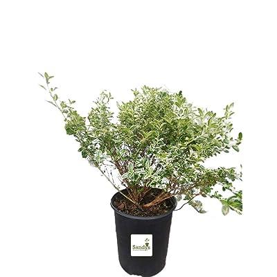 AchmadAnam - Live Plant - Serissa Foetida White Flower Snowrose, Tree of a Thousand Stars, Gallon Pot, Lot of 6. E15 : Garden & Outdoor