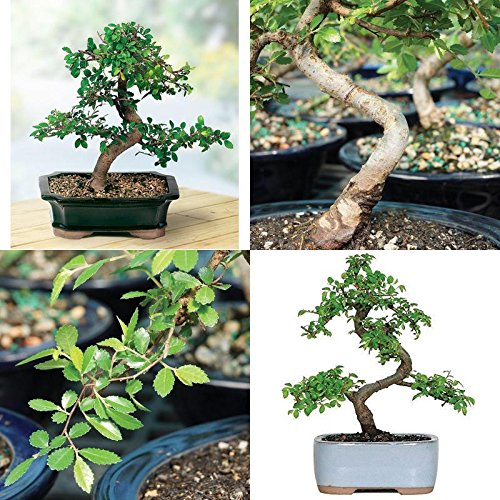 Brussels Chinese Elm Bonsai Live Tree Plant 5 year old Outdoor/Interior Decor by gk_usa_mall