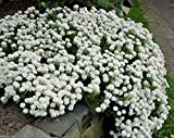 50 seeds - CANDYTUFT SEEDS - Iberis sempervirens 'Snowflake' hardy perennial ground cover