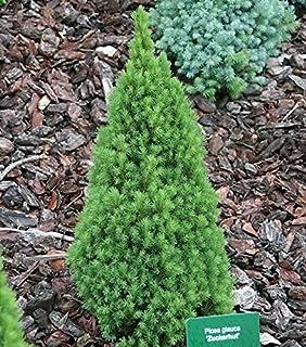 Säulen Eiche Koster 60-80cm Quercus robur Fastigiata