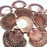PEPPERLONELY 12PC Mexican Flat Scallop Sea Shells, 2-1/2 Inch ~ 3-1/2 Inch