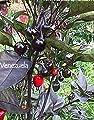 10 Venezuela Hot Pepper Seed, Heirloom,Organic, Very Rare.