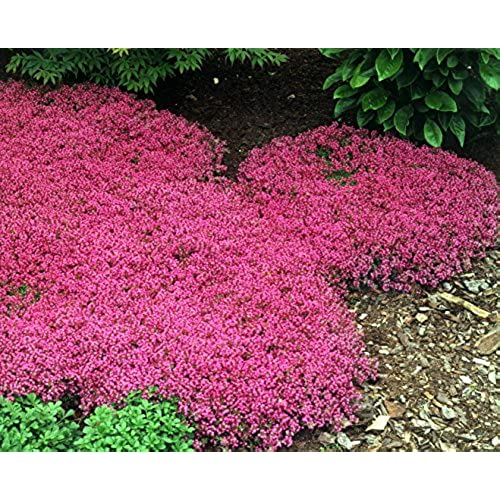 Perennial ground cover flowers amazon 500 bulk perennial flower garden groundcover seeds creeping thyme scarlet mightylinksfo