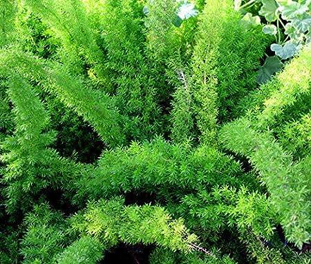 House Plant Asparagus sprengeri 10 Seeds