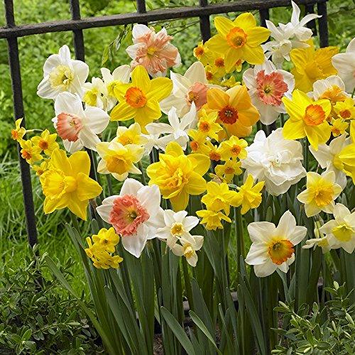 Pack of 100 Tall Mixed Daffodil Bulbs