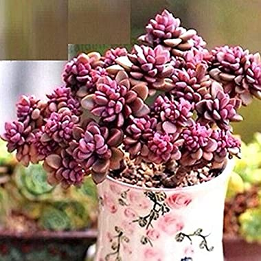 FD2222 Rare Succulents Seeds Mini Potted Flower Organic Seeds ~1 Bag 50 Seeds~