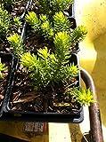 5 Angelina Sedum in 4 Inch Pots - Sedum Rupestre/ Stonecrop