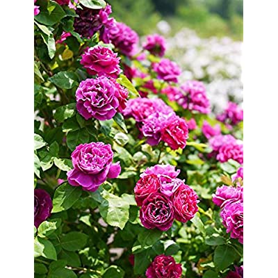 "100 Pcs Climbing Colorful Rose Flowers Seeds for Garden Home Balcony Fences Yard Decoration Flowers Plants (Rosa""Roger Lambelin"" Seeds) : Garden & Outdoor"