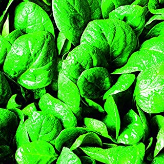 Baby Leaf Spinach - '' Plants - 6 X Medium Plugs.