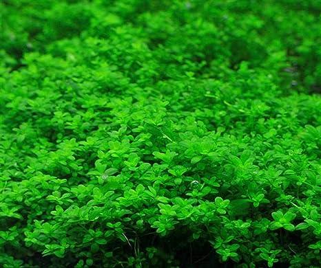 Semi di erba dellamore 10g circa 7000 pezzi Piante acquatiche biologiche Serbatoio di pesce Erba Foglie doppie dal vivo Acquario Decorazioni tropicali Gambi radicati idroponici per la coltivazione