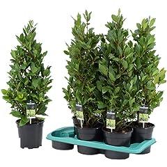 Amazon It Piante Da Esterno Giardino E Giardinaggio Alberi